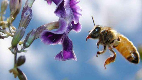 Meddig repül el a méh?