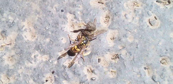 Brutális bunyó az aszfalton: méh vs. darázs