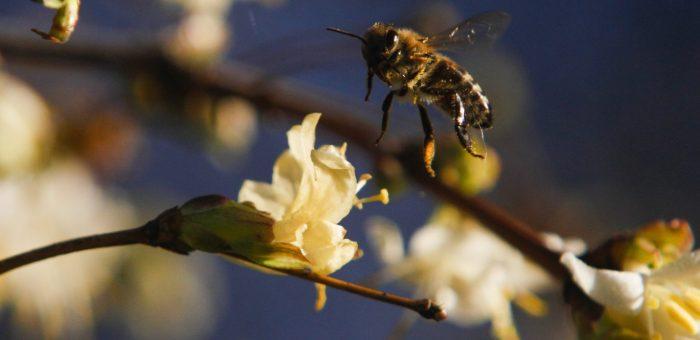 Amikor már emberek porozzák a méhek helyett a virágokat