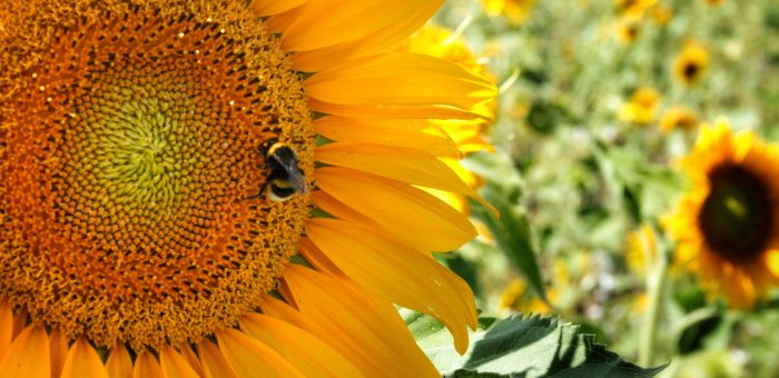 Mivel helyettesíthetjük a betiltott növényvédő szereket?